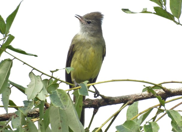 Flycatcher, Elaenia, Yellow-bellied, CATIE, canal (1)