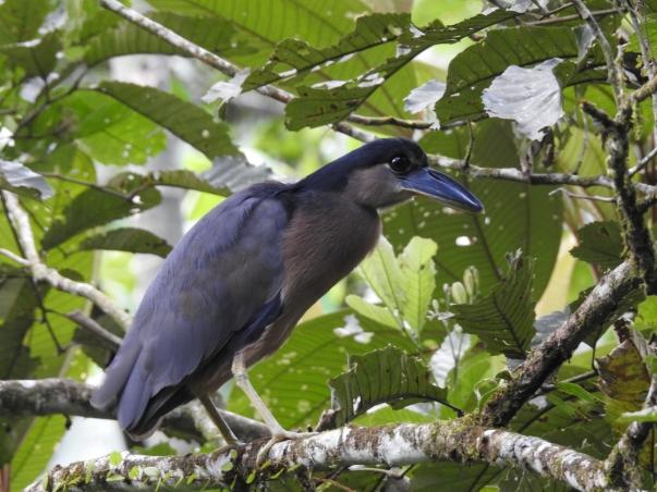Heron, Boat-billed, Las Brisas 2