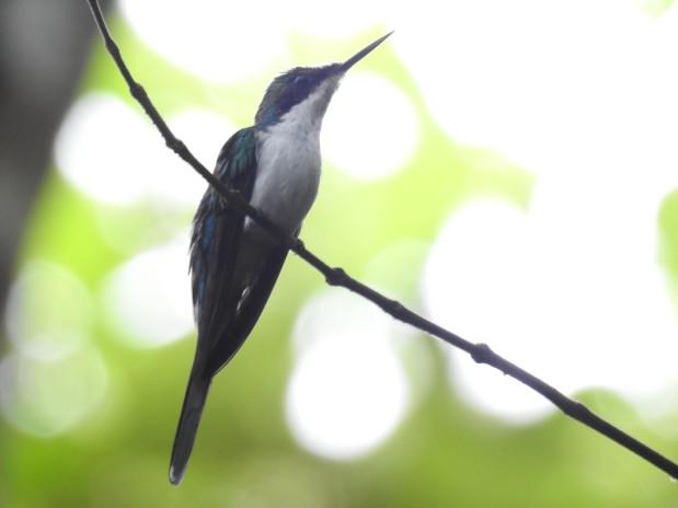 Hummingbird, Fairy, Purple-crowned, Aquiares (1)