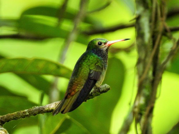 Hummingbird, Goldentail, Blue-throated, male, Reserva Las Brisas (1)