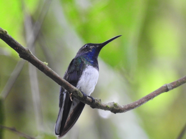 Hummingbird, Jacobin, White-necked, male, Aquiares (1)