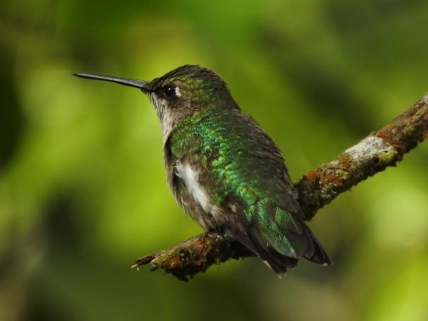 Hummingbird, Ruby-throated, imm male, Reserva Las Brisas (3)