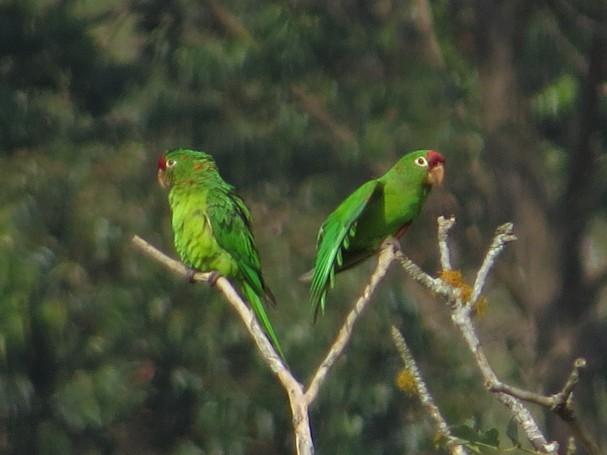 Parakeet, Crimson-Fronted, La Muralla