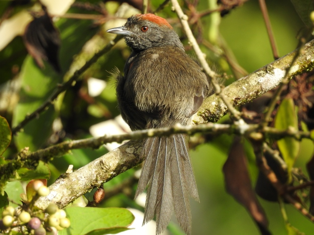 Spinetail, Slaty, adult, Reserva Las Brisas (1)