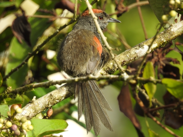 Spinetail, Slaty, Reserva Las Brisas (11)