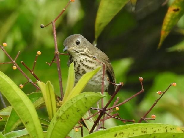Thrush, Gray-cheeked, Reserva Las Brisas (5)