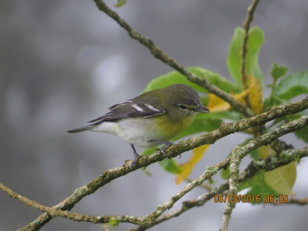Vireo, yellow-throated (Santa Rosa, garden)