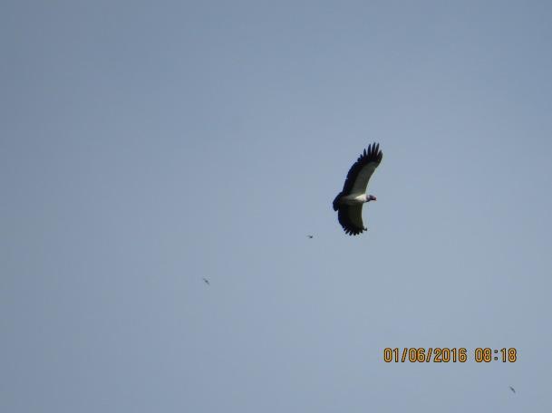 Vulture, King (Peralta, soaring) (1)