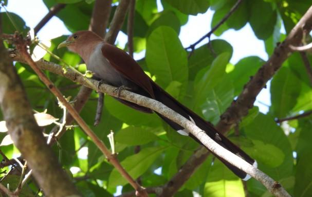 Cuckoo, Squirrel, Paraiso (1)