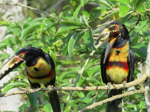 Toucan, Aracari, Collared (Santa Rosa; garden)
