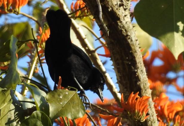 Blackbird, Melodious, Paso Marcos (1)