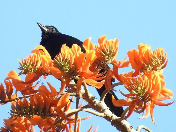 Blackbird, Melodious, Paso Marcos (2)