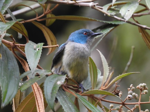 Dacnis, Scarlet-thighed, female, Canal CATIE (1)