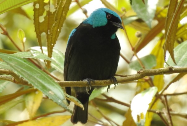 Dacnis, Scarlet-thighed, male, Canal CATIE (1)