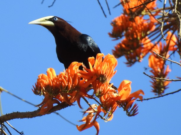 Oropendola, Chestnut-headed, Paso Marcos (3)