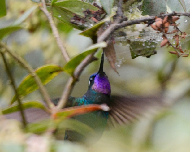 Purple-throated Mountain Gem
