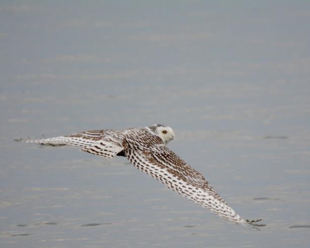 Snowy Owl2 Minn