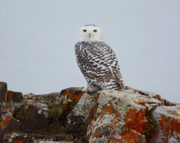 Snowy Owl3 Minn
