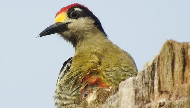 Woodpecker, Black-checked, male, Angostura (2)