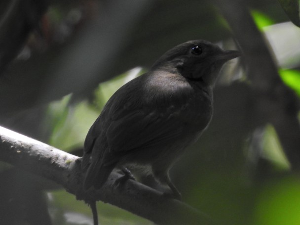 Manakin, Orange-collared, female, Finca Estrella (3)