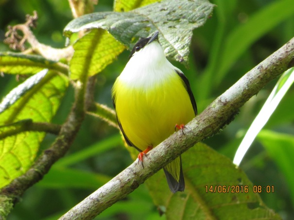 Manakin, White-collared, male Rio Tuis (1)