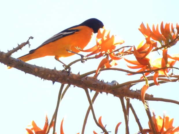 Oriole, Baltimore, male, Paso Marcos (2)