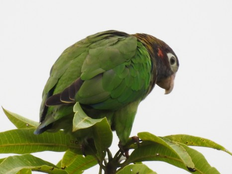 Browno-hooded Parrot at Santa Rosa; photo by John Beer
