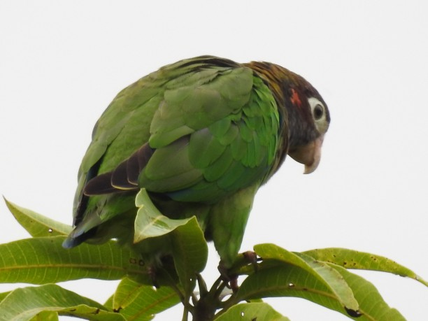 Parrot, Brown-hooded, Santa Rosa garden (1)