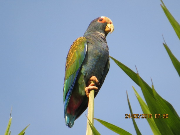 Parrot, White-crowned (CATIE) (2)