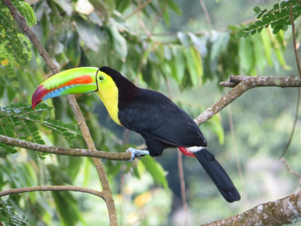 Toucan, Keel-billed Siquirres (1)