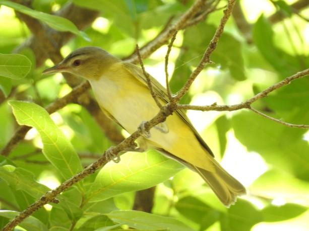 Vireo, Yellow-green, Paraiso (1)