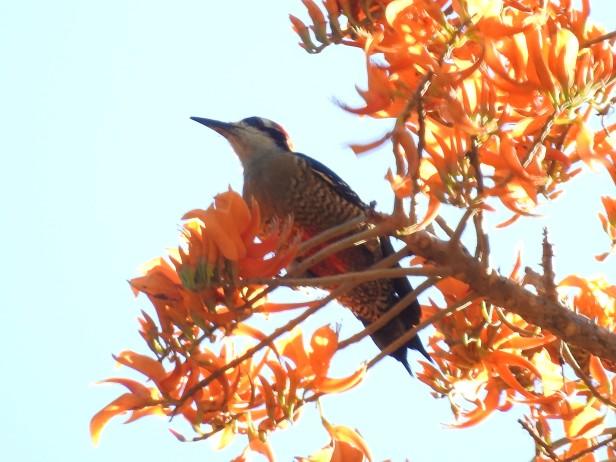 Woodpecker, Black-cheeked, female, Paso Marcos (2)