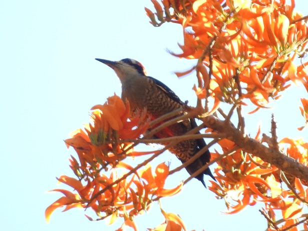 Woodpecker, Black-cheeked, female, Paso Marcos (2)