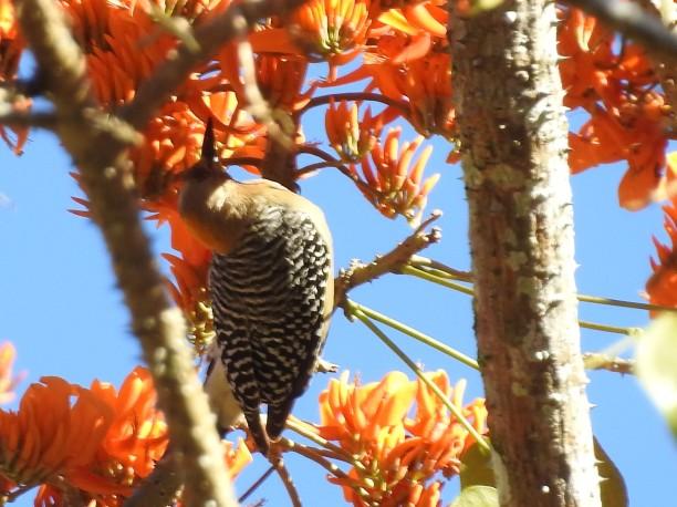 Woodpecker, Hoffmann´s, female, Paso Marcos