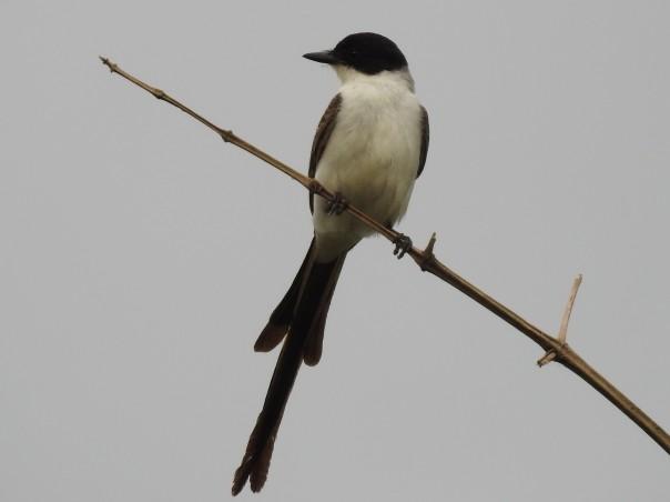 Flycatcher, Fork-tailed, Ciudad Neily (2)