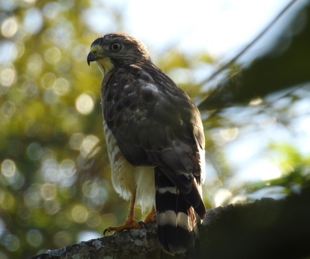 Hawk, Broad-winged, Finca Estrella (2)