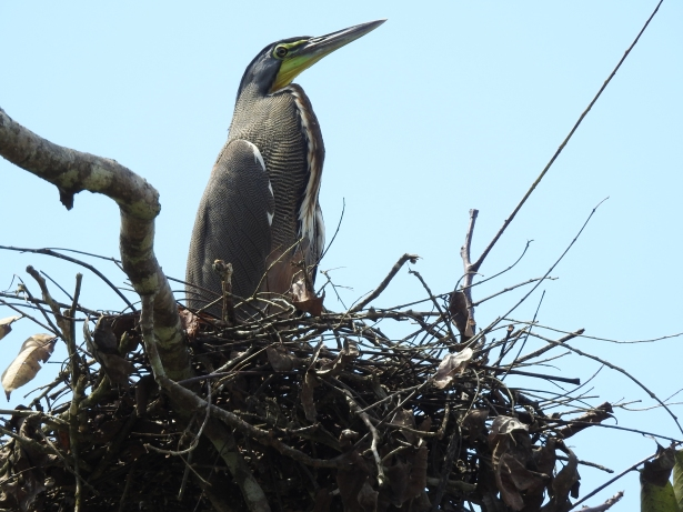 Heron, Tiger-, Bare-throated, nest, El 27 carretera 608 (1)