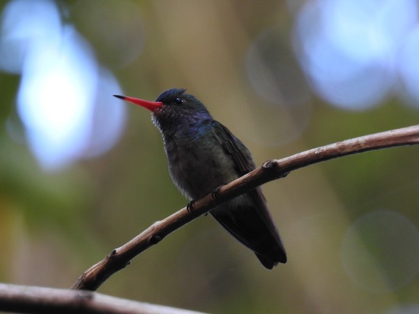 Hummingbird, Goldentail, Blue-throated, male, Finca Estrella