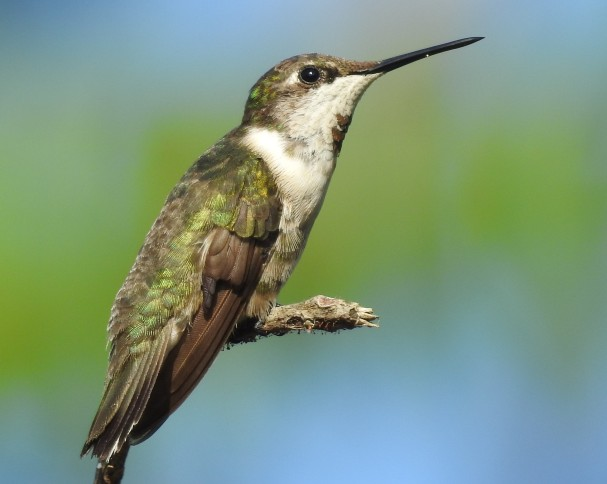 Hummingbird, Ruby-throated, Finca Estrella (4)
