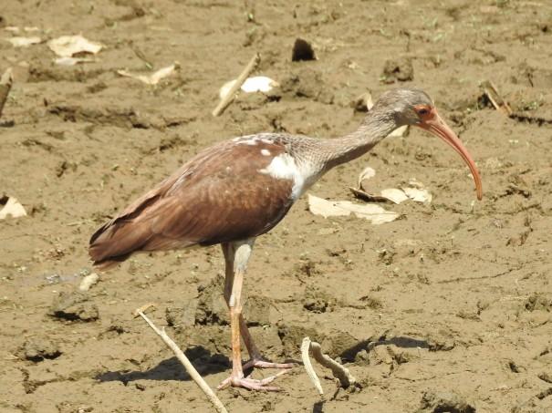 Ibis, White, immature, Coto 47 - Colorado river (2)