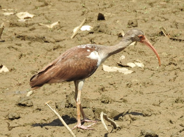 Ibis, White, immature, Coto 47 - Colorado river (2)