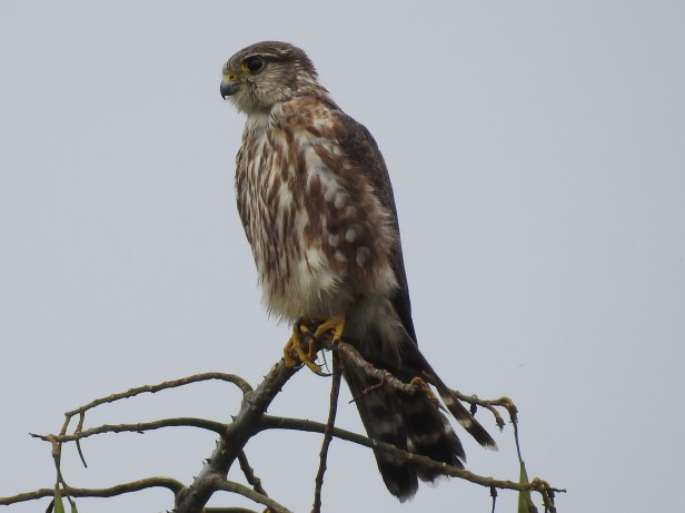 Merlin, female, immature, Santa Rosa (1)