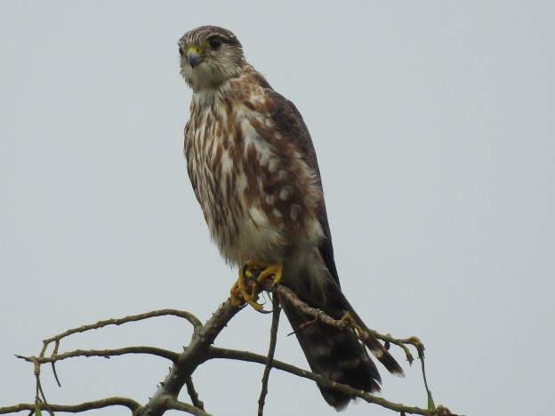 Merlin, female, immature, Santa Rosa (2)