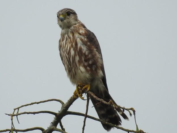 Merlin, female, immature, Santa Rosa (2)