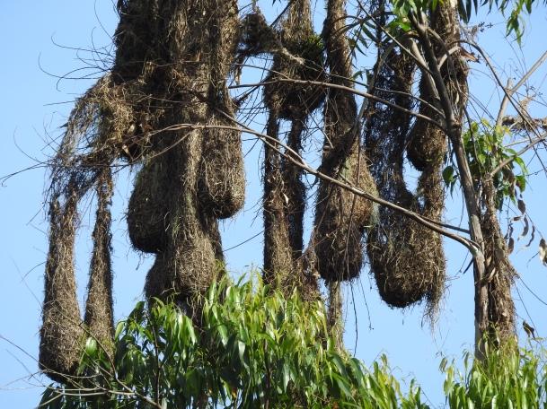 Oropendola, Montezuma, nests, Cristina de la Suiza (2)