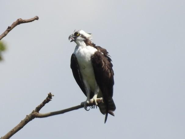 Osprey, Coto 47 - Colorado river (2)