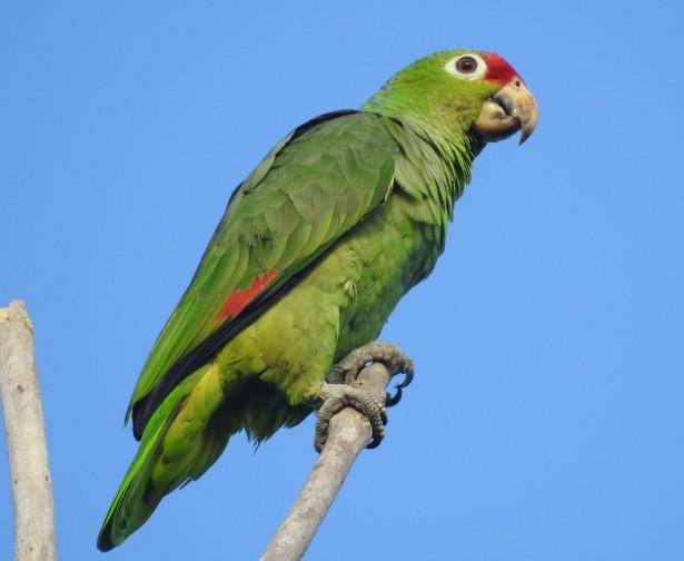 Parrot, red-lored, Finca Estrella