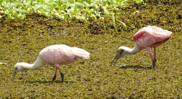 Spoonbill, Roseate, Rio Coto (2)