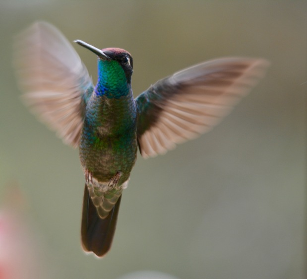 Magnificent Hummingbird (Talamanca Hummingbird)