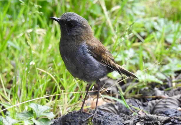 Thrush, Nightingale-, Black-billed, Tapojo, V Turrialba (3)